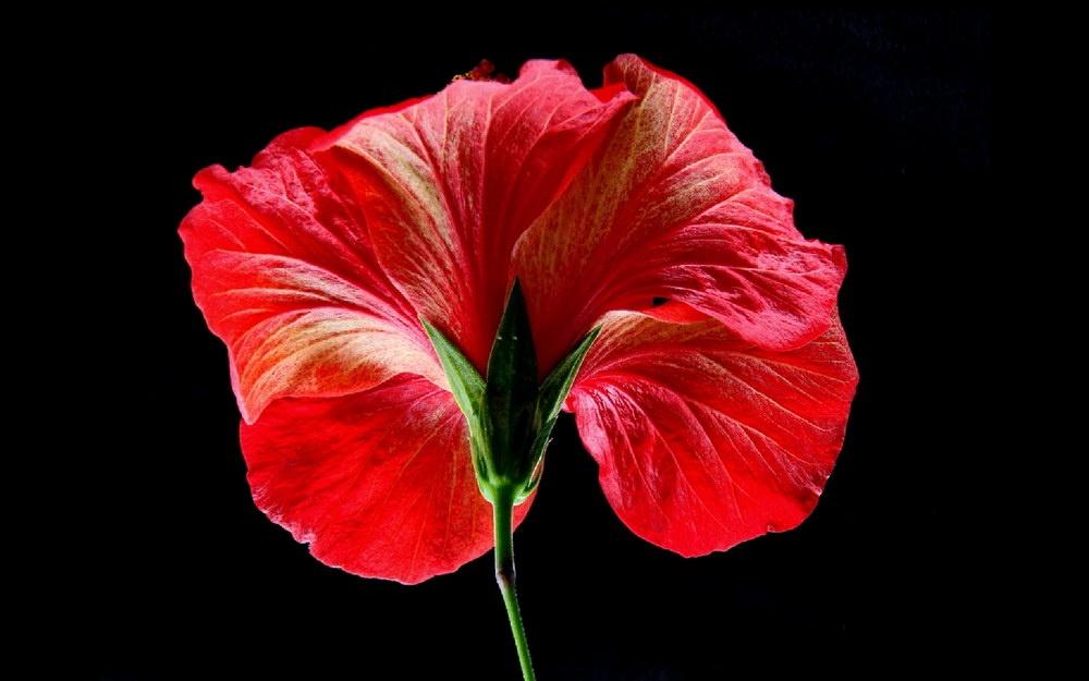 51-02Weis_Antoine_Flowers-on-black_02_Bildgröße ändern