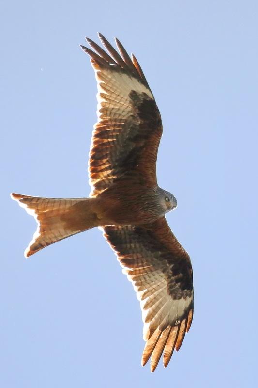 Rotmilan * Red Kite