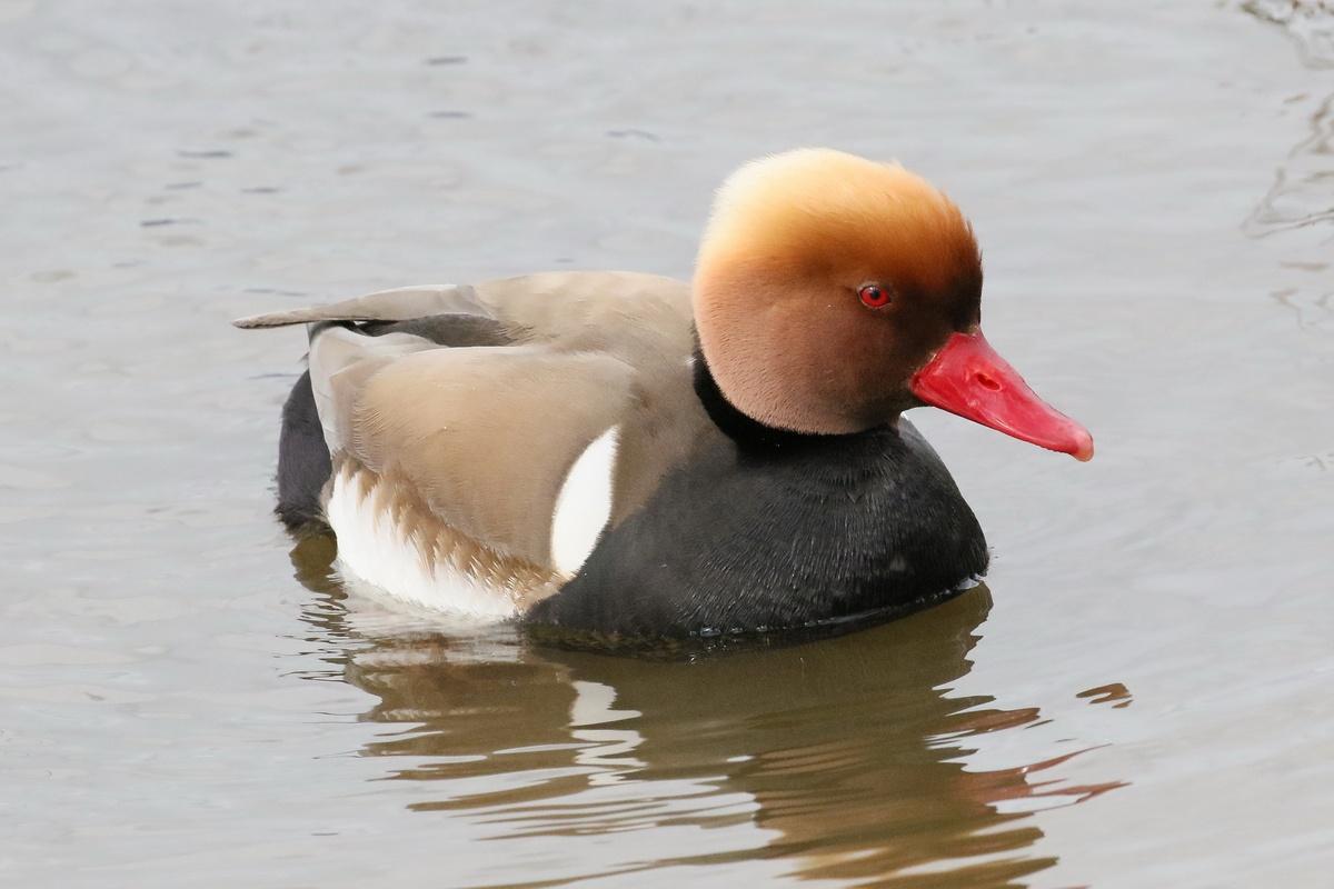 Kolbenente * Red-crested Pochard (m.)