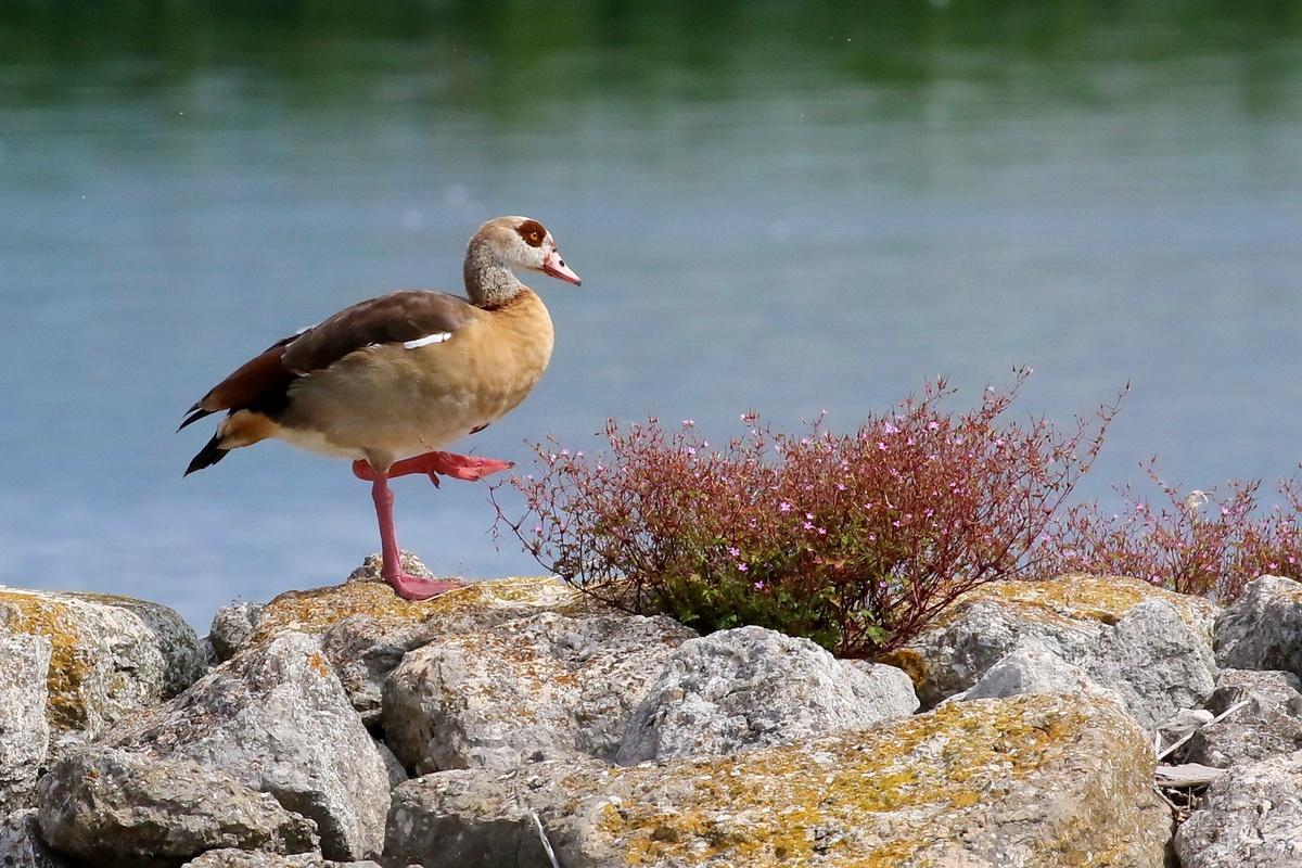 Nilgans * Egyptian Goose