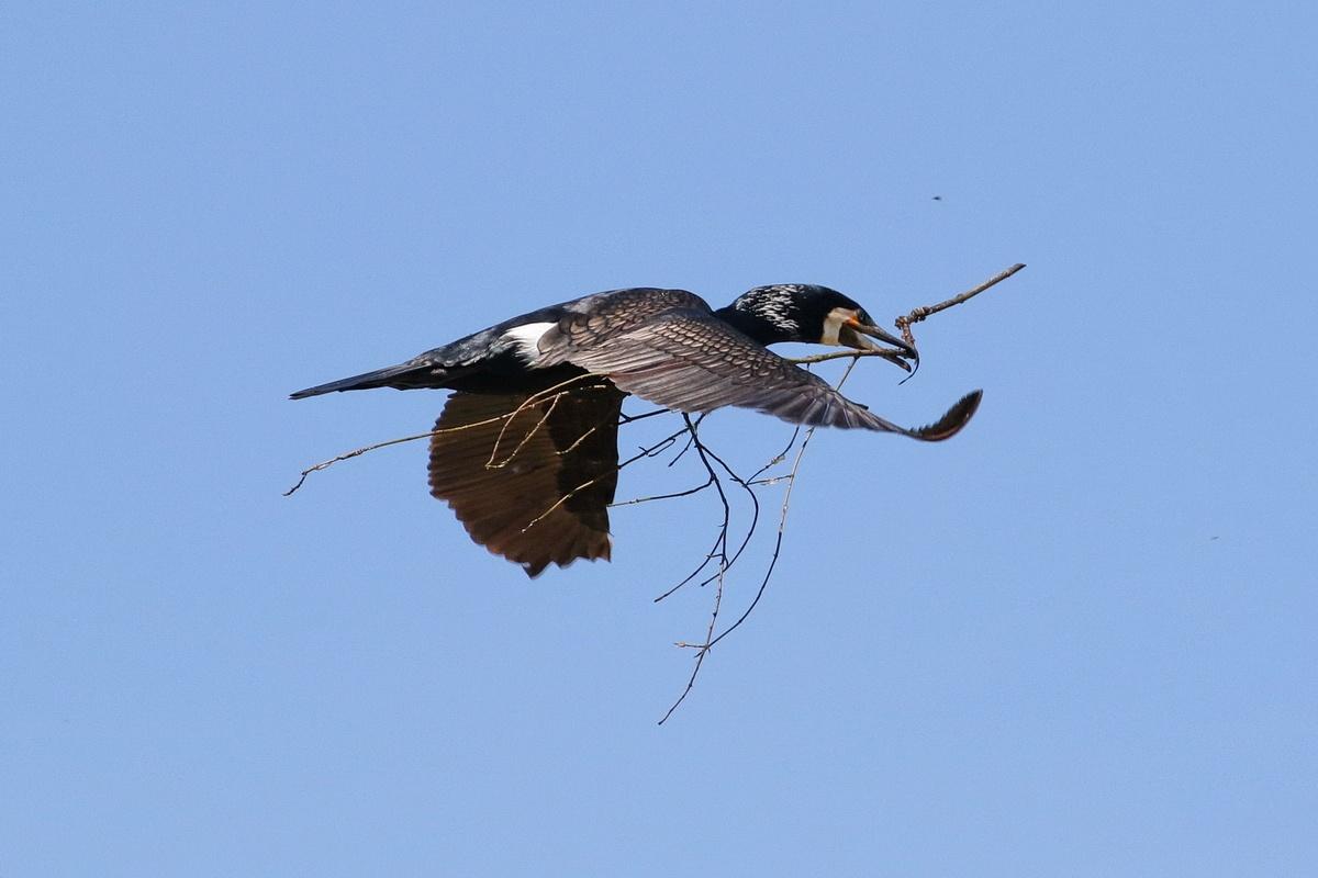Kormoran * Great Cormorant