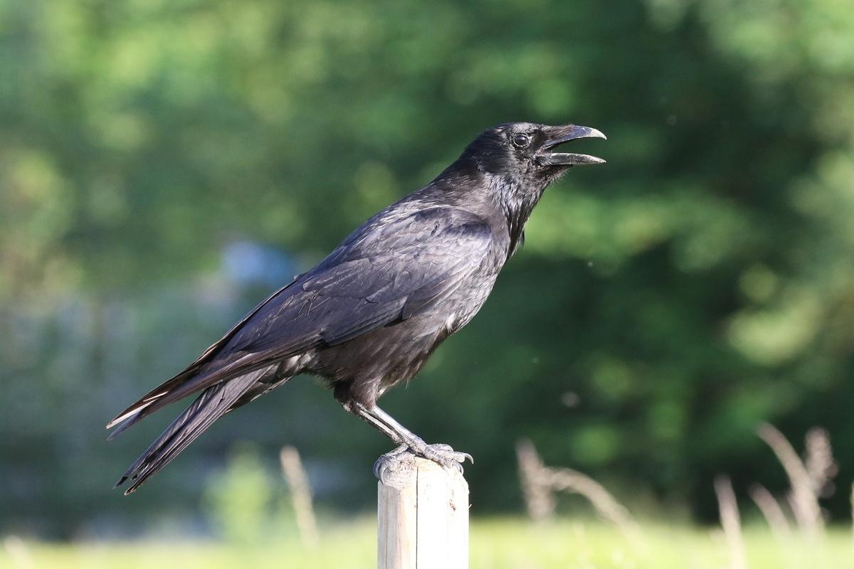 Rabenkrähe * Carrion Crow