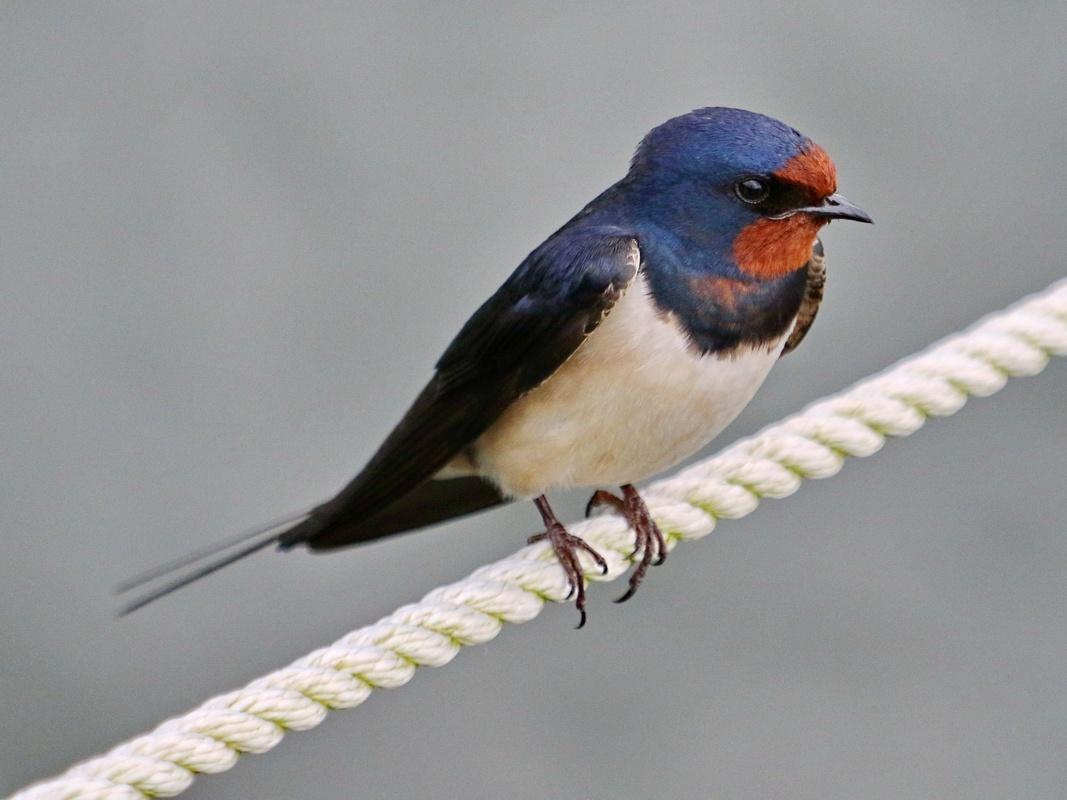 Rauchschwalbe * Barn Swallow