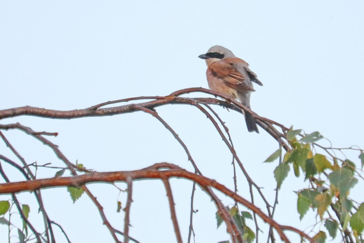 Neuntöter * Red-backed Shrike (m.)