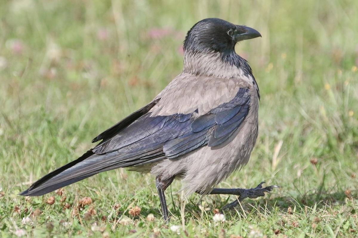 Nebelkrähe * Hooded Crow