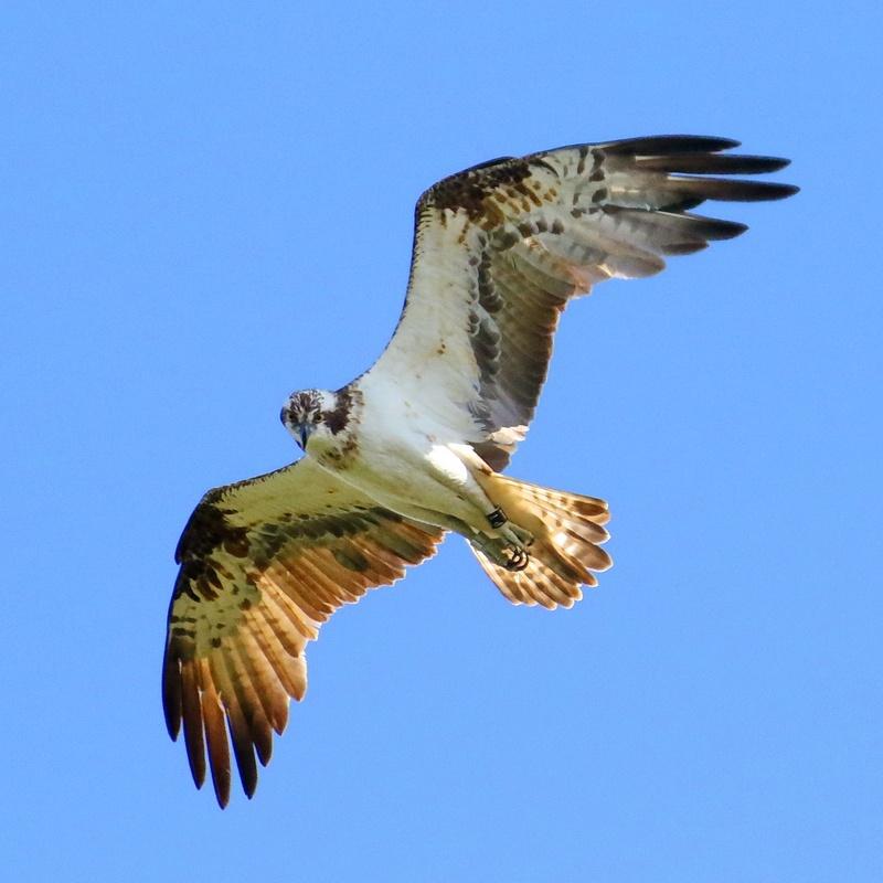 Fischadler * Osprey