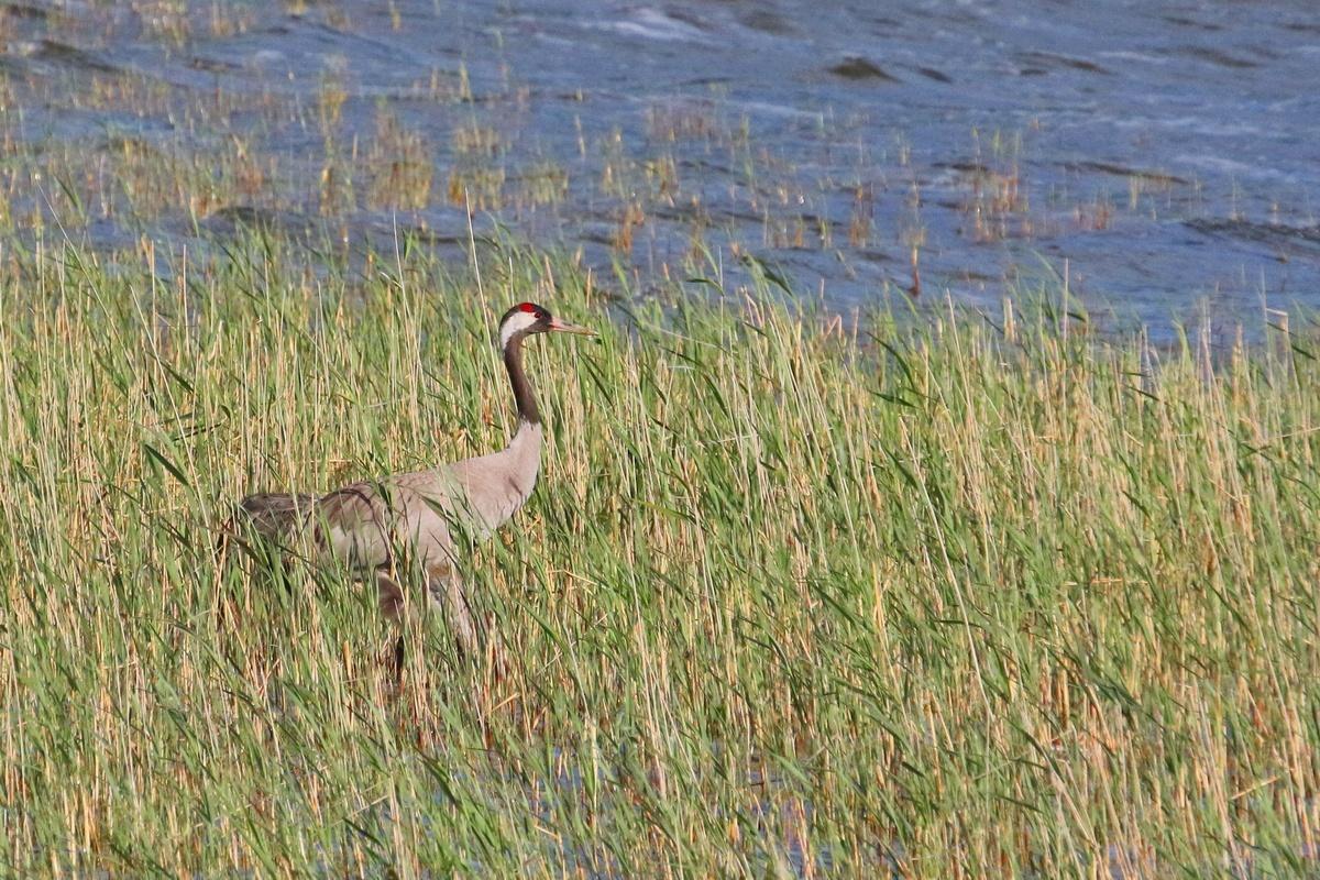 Kranich * Common Crane