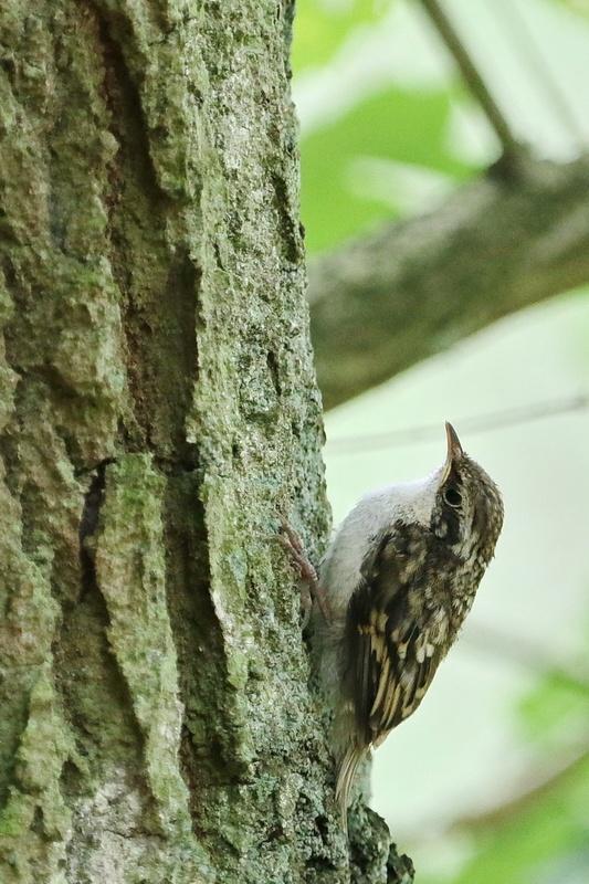 Waldbaumläufer * Eurasian Tree-Creeper