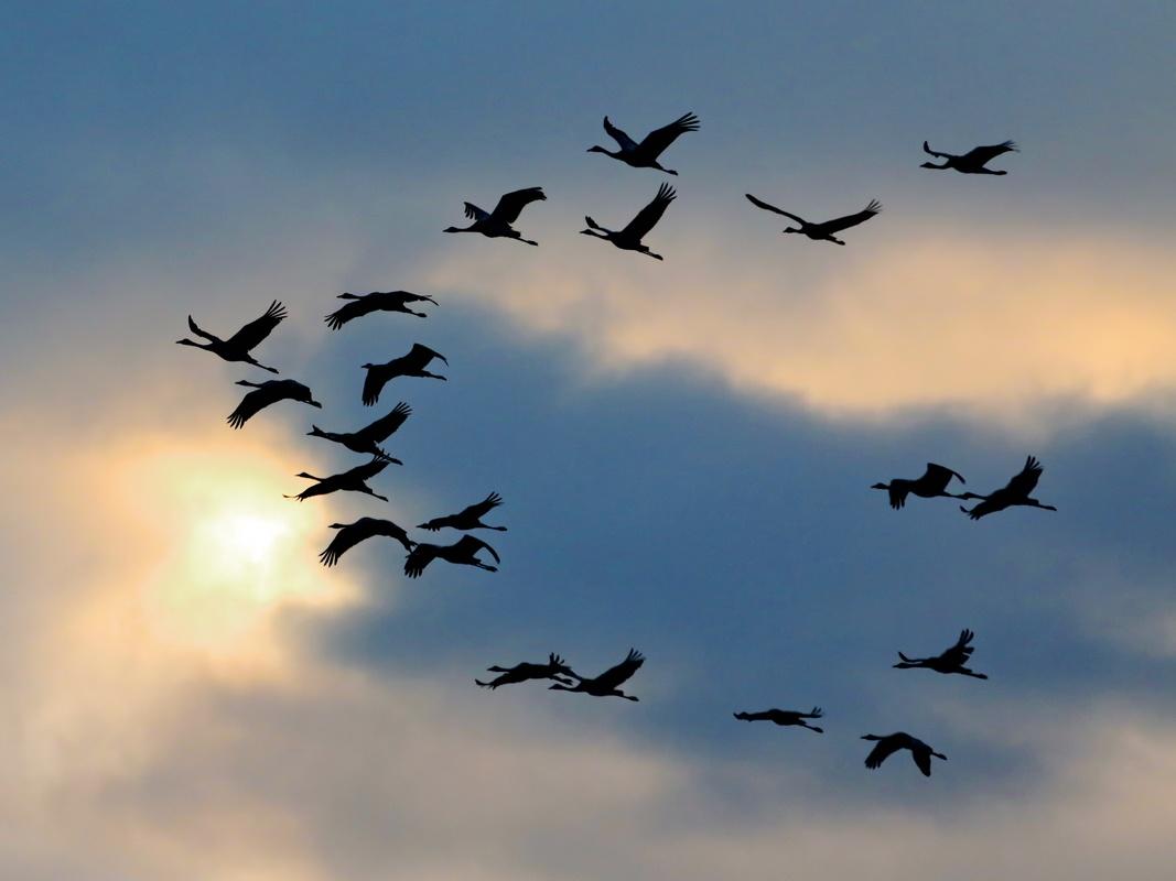 Kraniche * Common Crane