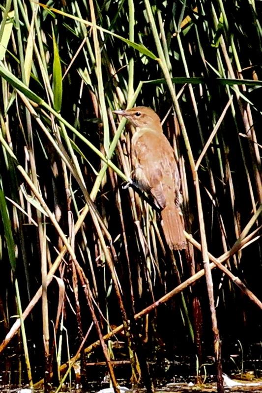 Rohrschwirl * Savi's Warbler