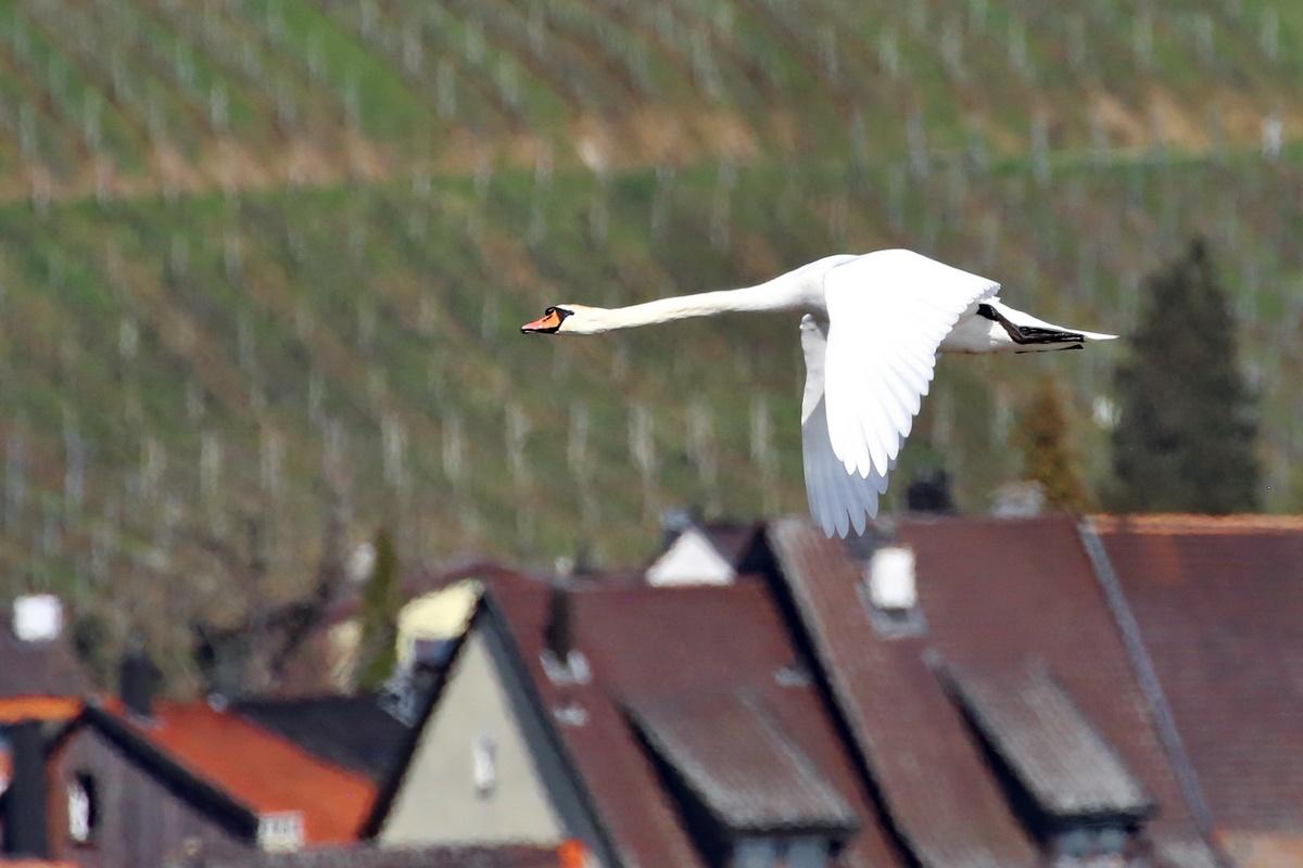 Höckerschwan * Mute Swan