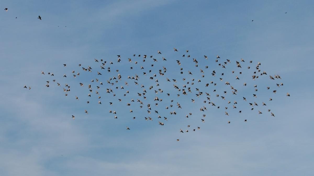 Stare * Common Starling