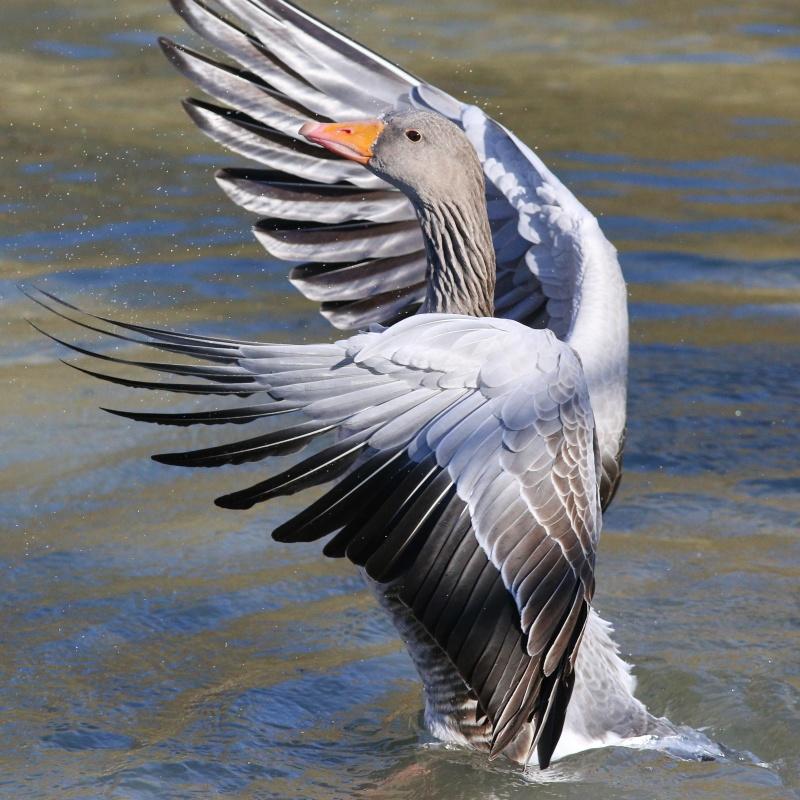 Graugans * Greylag Goose