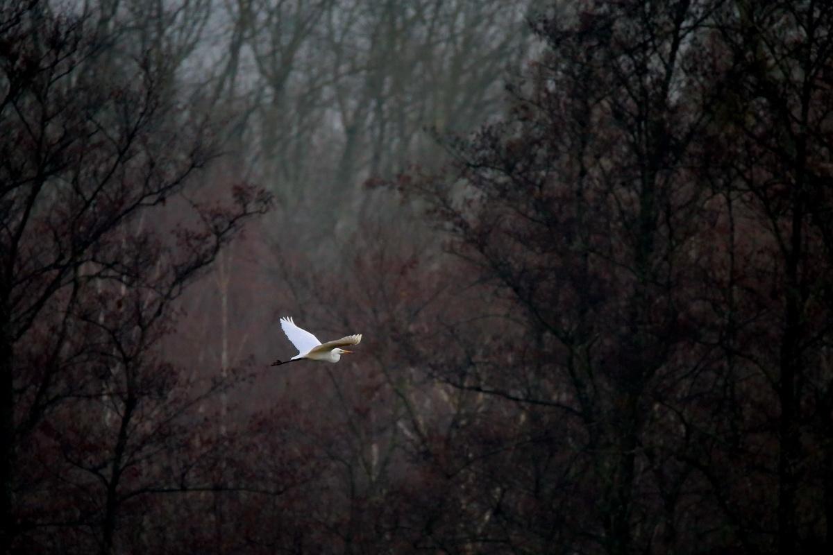 Silberreiher * Great Egret