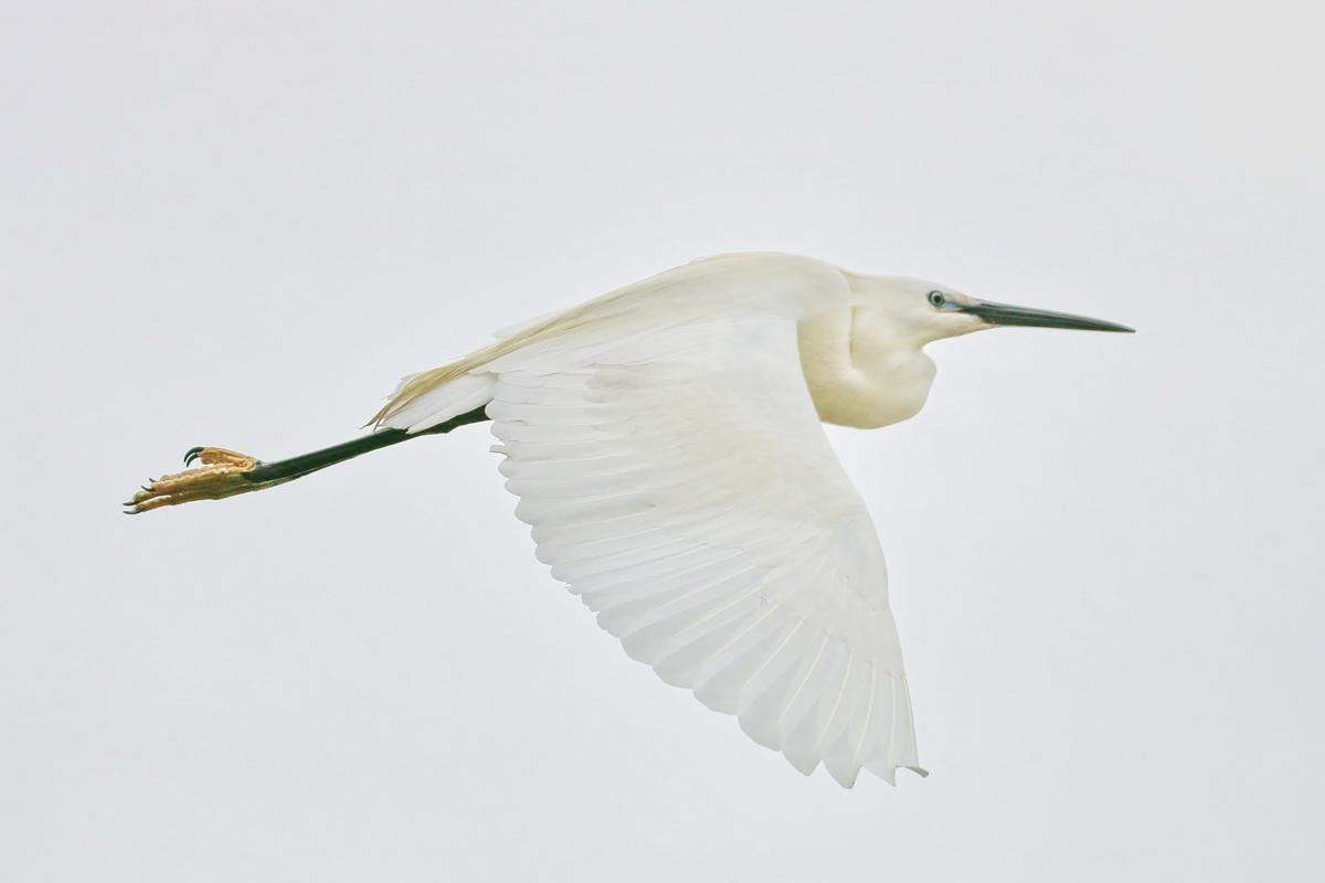 Seidenreiher * Little Egret