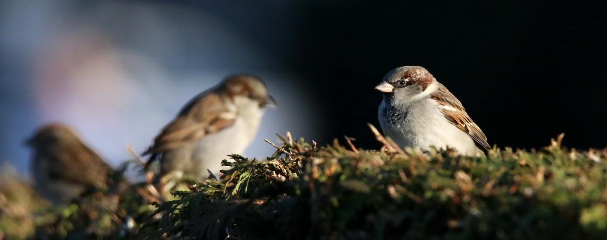 Haussperling * House Sparrow