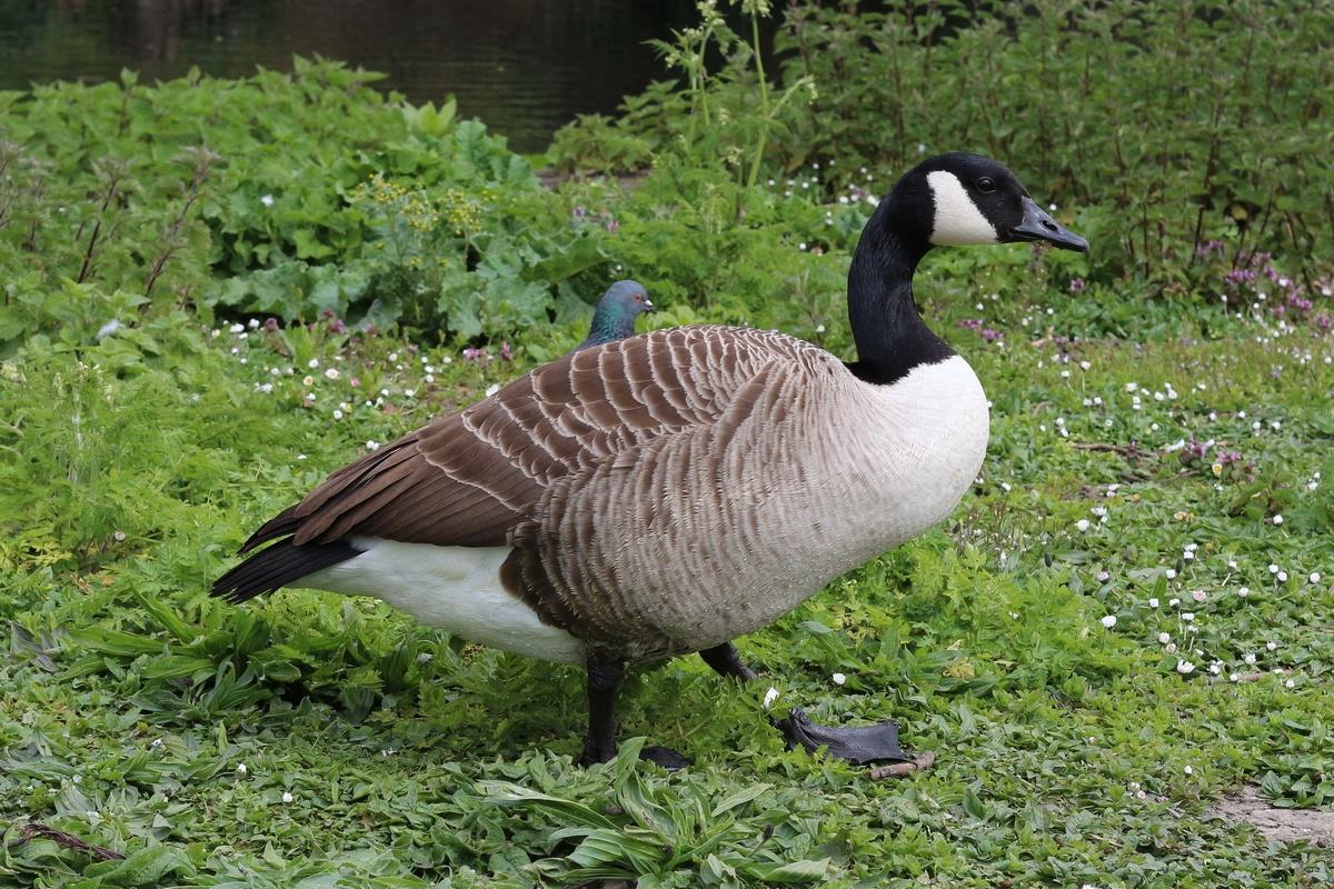 Kanadagans * Canada Goose