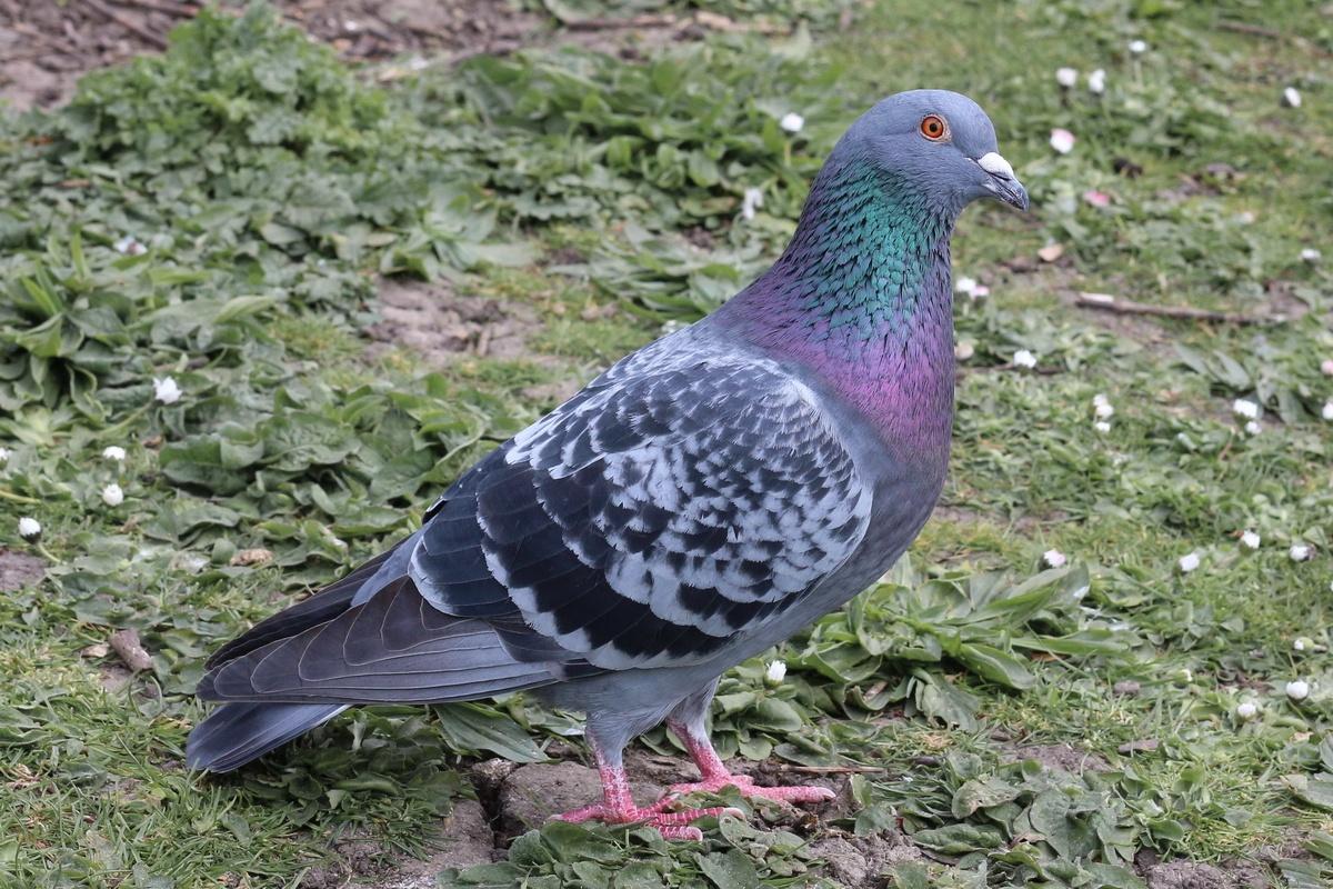 Strassentaube * Feral Pigeon