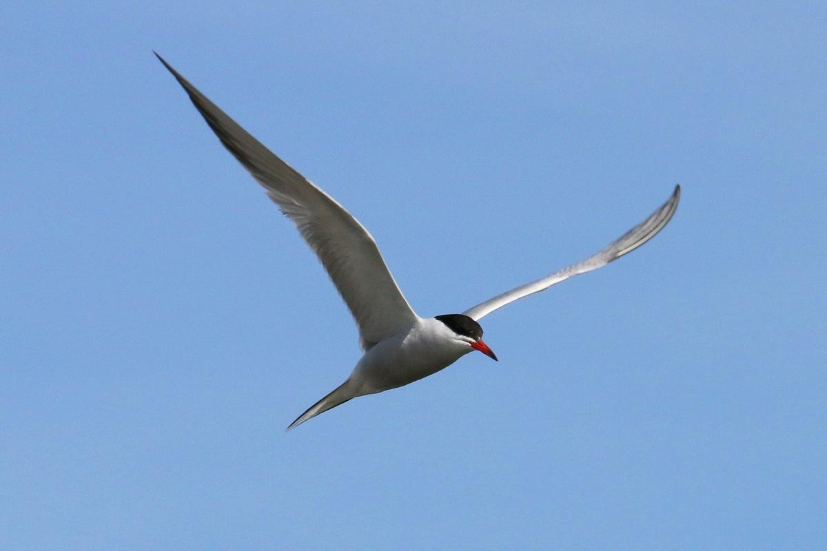 Flussseeschwalbe * Common Tern