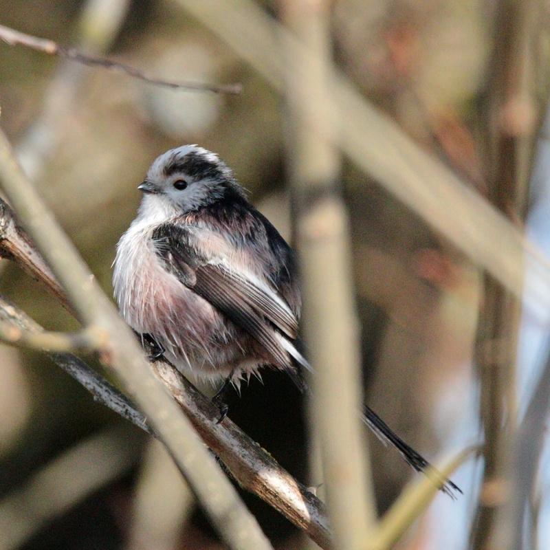 Schwanzmeise * Long-tailed Tit