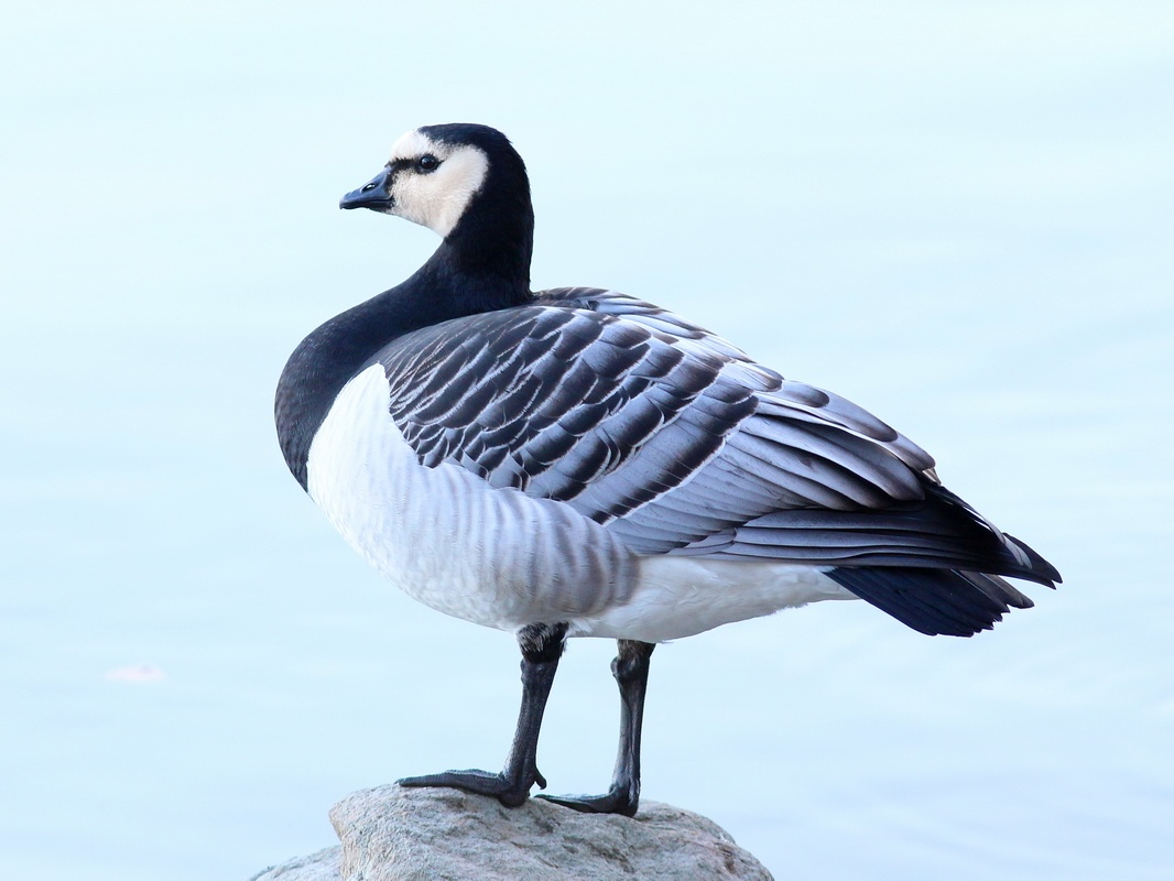 Weisswangengans * Barnacle Goose