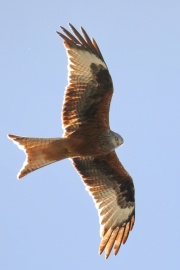 Rotmilan * Red Kite