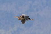 Purpurreiher * Purple Heron
