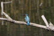 Eisvogel * Common Kingfisher (m.)