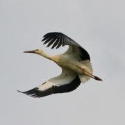 Weissstorch * White Stork