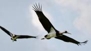 Schwarzstorch * Black Stork