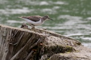 Flussuferläufer * Common Sandpiper