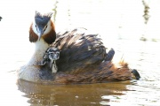 Haubentaucher * Great Crested Grebe