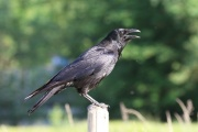 Rabenkrähe * Carrion Crow