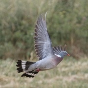Ringeltaube * Common Wood-Pigeon