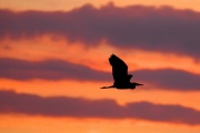 Graureiher * Grey Heron