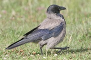 Nebelkrähe * Hooded Crow