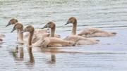 Höckerschwan * Mute Swan (juv.)