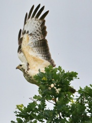 Mäusebussard * Common Buzzard