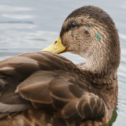 Stockente * Male mallard, shortly after molting. Note remains of the greenish nuptial plumage.