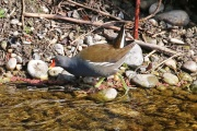 Teichhuhn * Common Moorhen