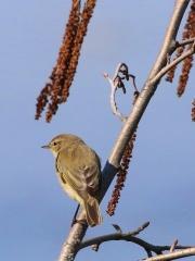 Teichrohrohrsänger * Eurasian Reed-Warbler