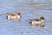 Spiessente * Northern Pintail (m.)