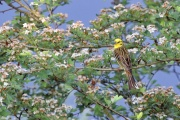 Goldammer * Yellowhammer