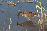Wasserralle * Water Rail