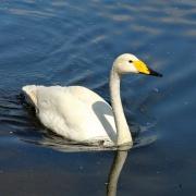 Singschwan * Whooper Swan