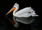 Krauskopfpelikan * Dalmatian Pelican