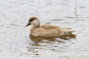Kolbenente * Red-crested Pochard (f.)