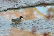 Krickenter * Common Teal (m.)