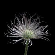 Gewöhnliche Kuhschelle * Pulsatilla vulgaris * common pasque flower