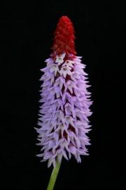 Orchideen-Primel
